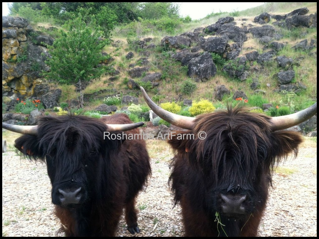 Hank & Brittney, our Scottish Highlander cows, in the quarry